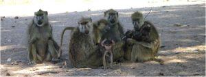 amboseli_baboons
