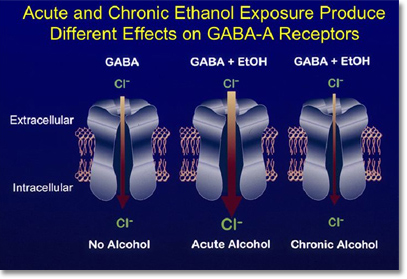 This schematic shows that acute alcohol exposure increases the flow of chloride ions through the GABA receptor pore compared to no alcohol. But with repeated use of alcohol, less chloride moves through the pore. This adaptation may explain the anxiety and seizure susceptibility that develop in alcohol dependence and withdrawal.