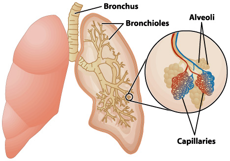 the structure and function of lungs – the alcohol pharmacology, Cephalic Vein