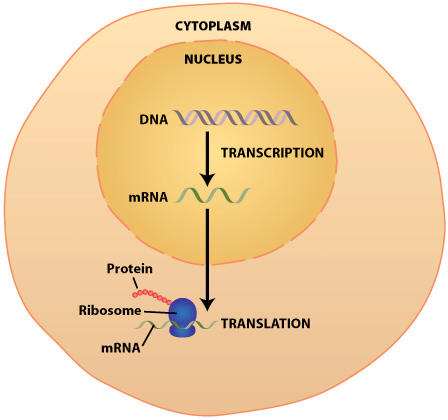 DNA Transcription & Translation: Synthesis of Proteins – The