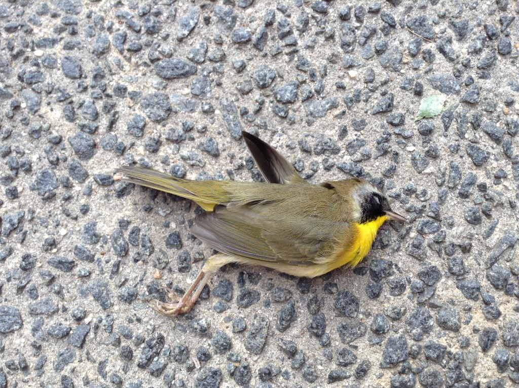 Common Yellowthroat 2