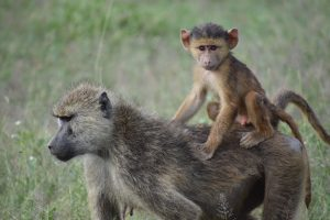 a picture of a baboon with its young
