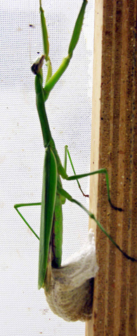 Tenodera aridifolia - large female adult laying an egg case
