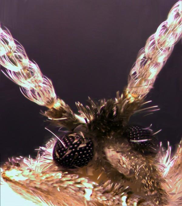 Clogmia albipunctata - tight close up of head and antennae
