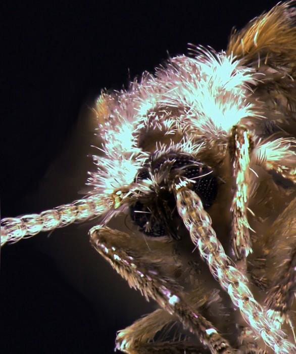 Clogmia albipunctata - close up of head