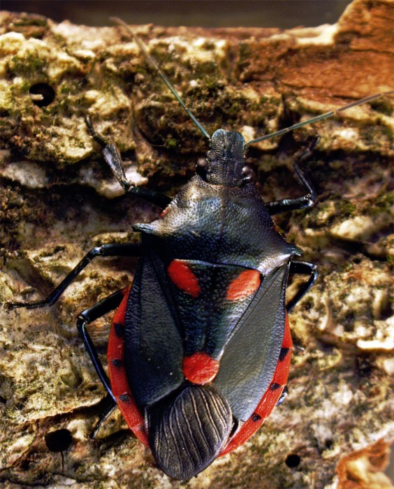Euthyrhynchus floridanus - Florida Predatory Stink Bug