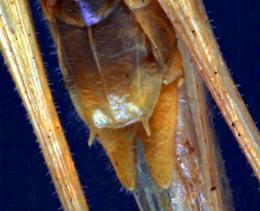 Orchelimum concinnum - Close up of cerci
