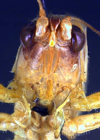 Orchelimum concinnum - high close up of head