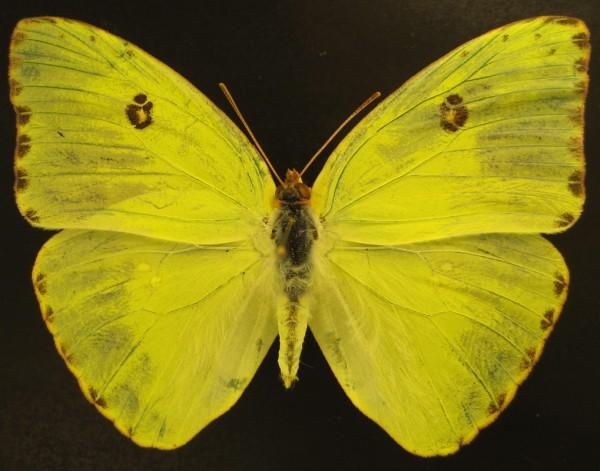 Phoebis sennae - Cloudless Sulphur dorsal view