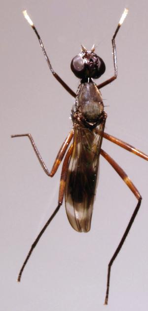 Taeniaptera trivittata - dorsal view