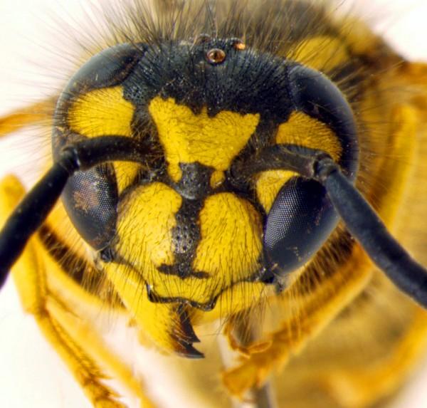 Vespula maculifrons - close frontal view