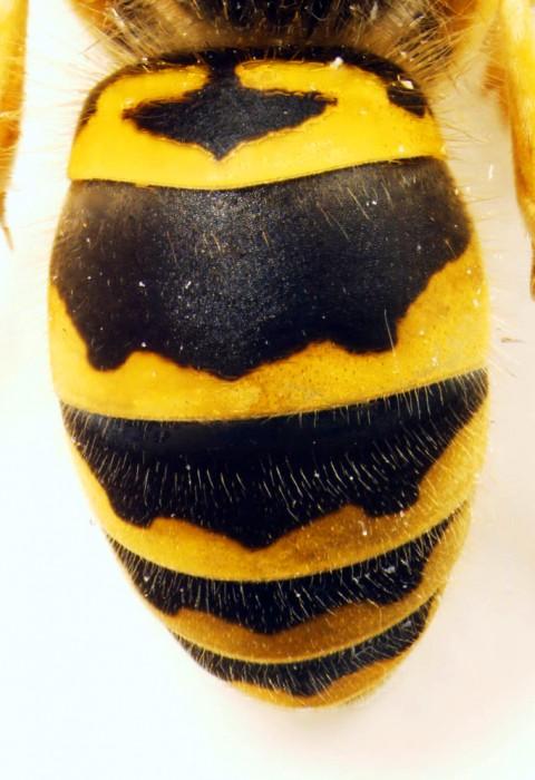 Vespula maculifrons - Close up of terga
