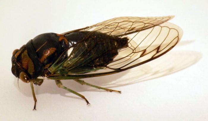 Neotibicen lyricen (Lyric Cicada)