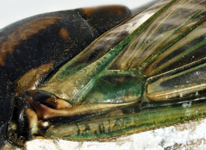 Neotibicen lyricen - Close up of wing hinge.