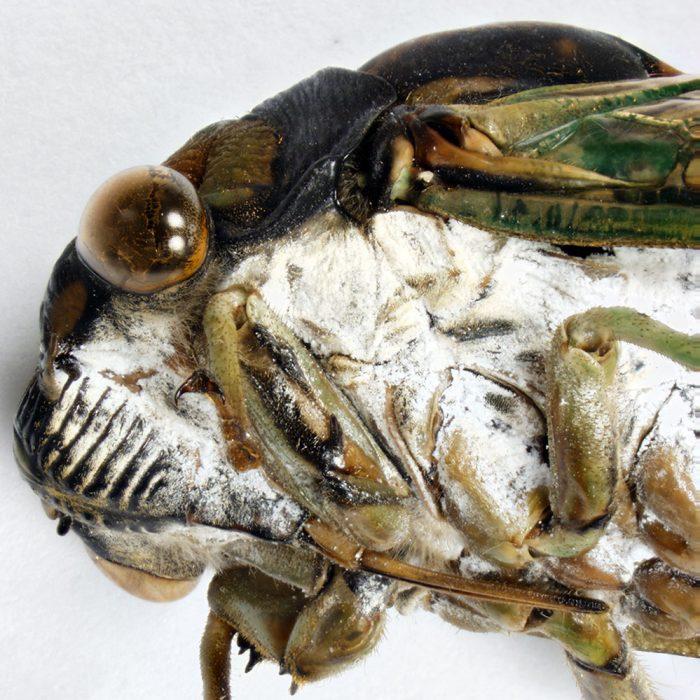 Neotibicen lyricen - Close up of head and waxy ventrum.