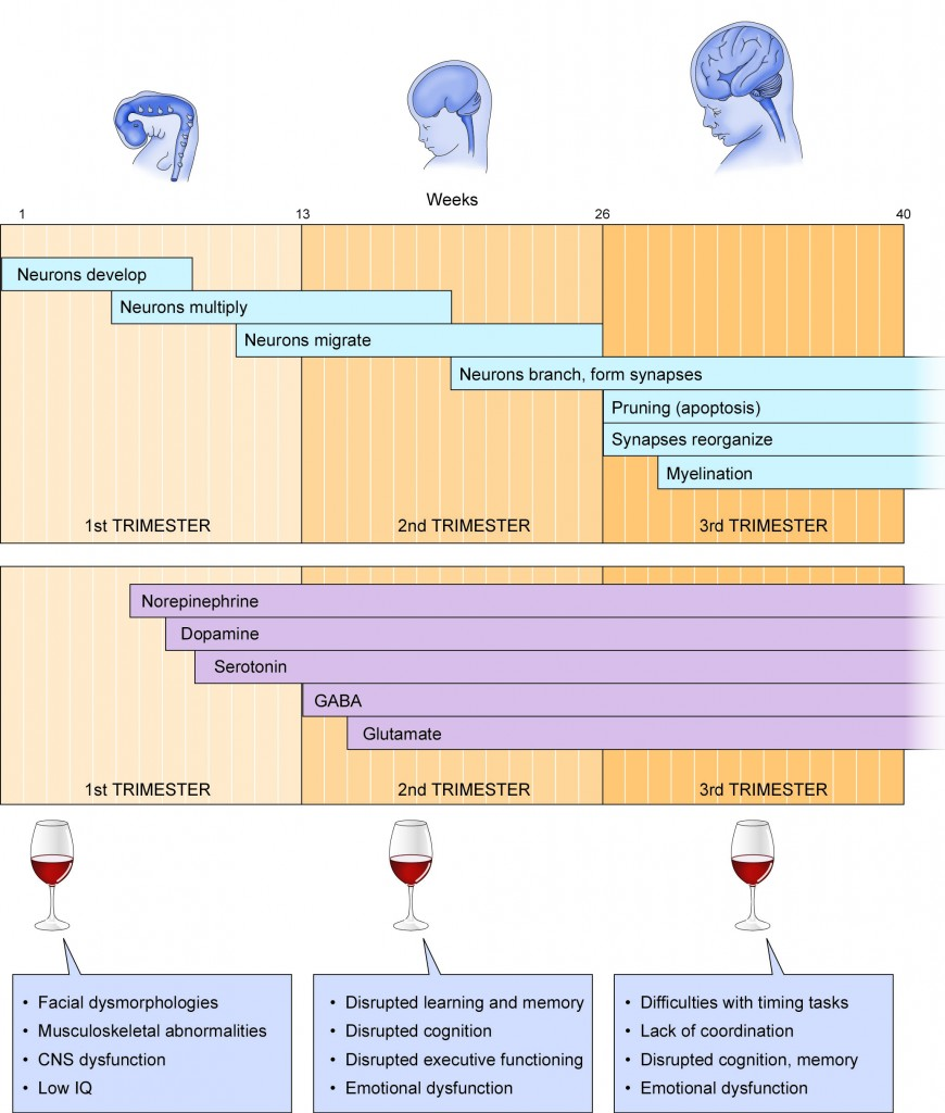 alcohol-development timeline
