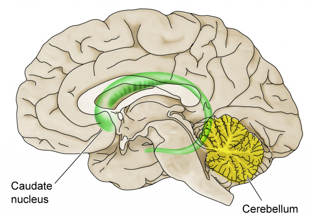 brain regions important in neuropsychological effects of prenatal