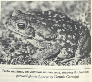 Bufo marinus, the common marine toad, showing the prominent partoid glands