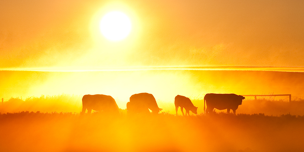 Cows in field at sunset.
