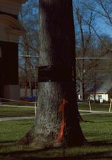 Tie A Sticky Ribbon Round The Old Oak Tree Nature Boy