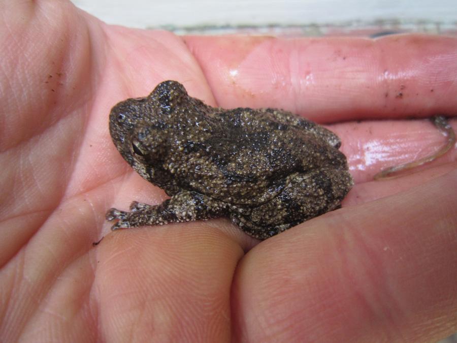 farthing_pond_babyfrog