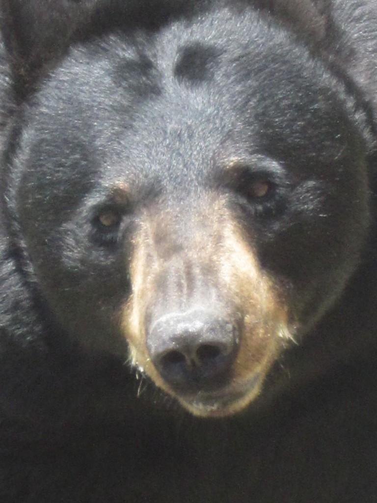 beargrandfather1