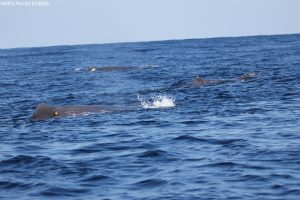 Sperm Whale - Physeter macrocephalus