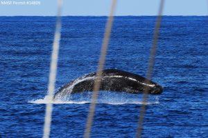 Breaching sperm whale.