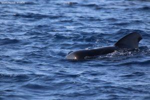 Short-finned pilot whales (Globicephala macrorhynchus)