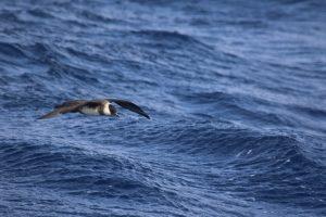 Great shearwater (Ardenna gravis)