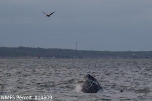 A humpback whale (Megaptera novaeangliae) spotted as we were leaving the Chesapeake Bay.