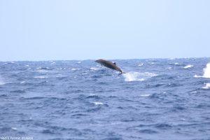 Gervais' beaked whale Gervais' beaked whale (Mesoplodon europaeus) breaching near Norfolk Canyon, USA