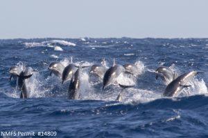Clymene dolphins (Stanella clymene)