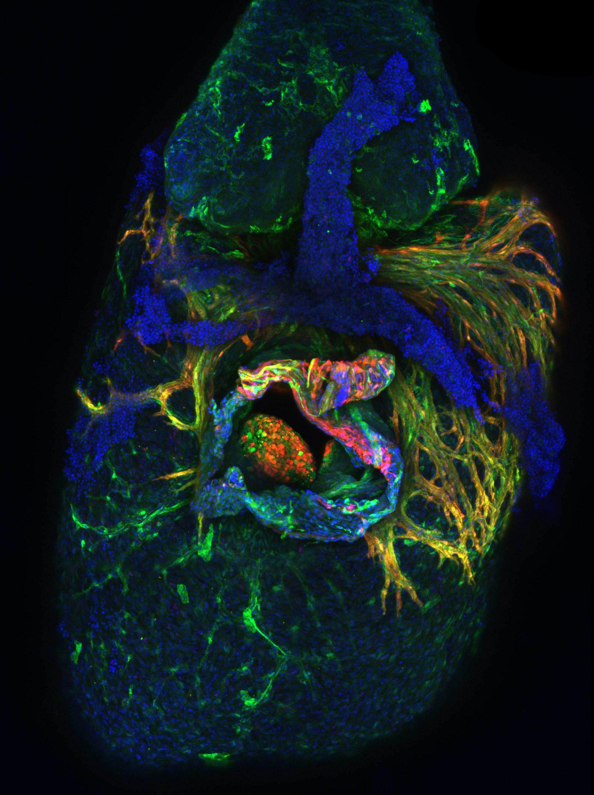 juvenile zebrafish heart image