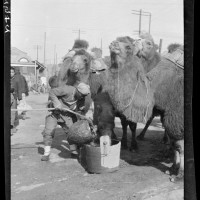 Well Camel, 1917-27
