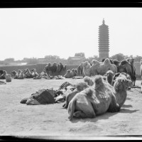 Camels Resting, 1917-27