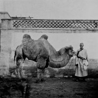 the_pekingese_camel