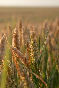 Wheat Pic1