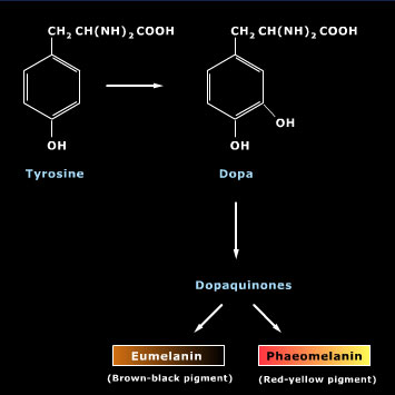 Melanin is synthesized (oxidized) from tyrosine with the help of the enzyme tyrosinase.