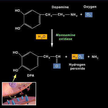 Inside the terminal, dopamine is oxidized by O2 with the help of the mitochondrial enzyme monoamine oxidase to form DPA, a metabolite, and hydrogen peroxide.