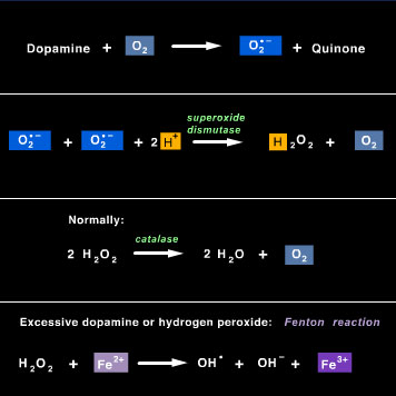 Dopamine is oxidized by oxygen sequentially to form the superoxide radical, hydrogen peroxide (H2O2), and the hydroxyl radical. The hydroxyl radical is the most reactive and most damaging form of oxygen radicals.