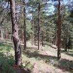 ponderosa pines near Boulder