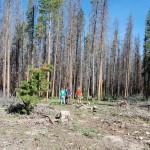 beetle ravaged lodgepole pine, WY