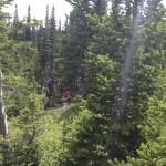 sampling spruce in CO
