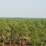 longleaf pines (east Texas)