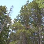 llodgepole pine (Colorado, 2013)