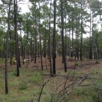 loblolly pine: one of a few stands that survived 2012 fire in Bastrop, TX