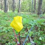 lodgepole pine: Alberta