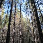 lodgepole pine, Alberta