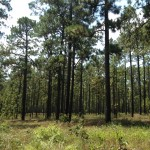 longleaf pine: east Texas (Aug 2013)